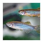 Adult Zebrafish CNS and Toxicology Screening Core Lab / Facility Logo