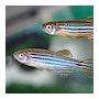 9as9nqdsjcfyznsrus9x zebrafish