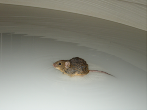 Mouse on water maze.png